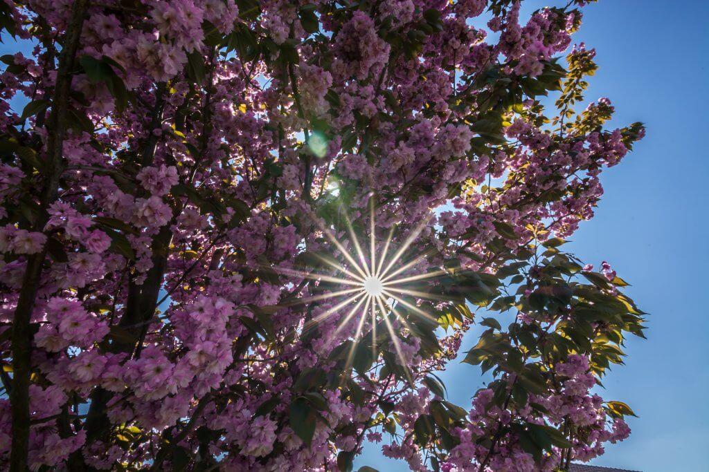 Blossom locations in the Haspengouw in Belgium