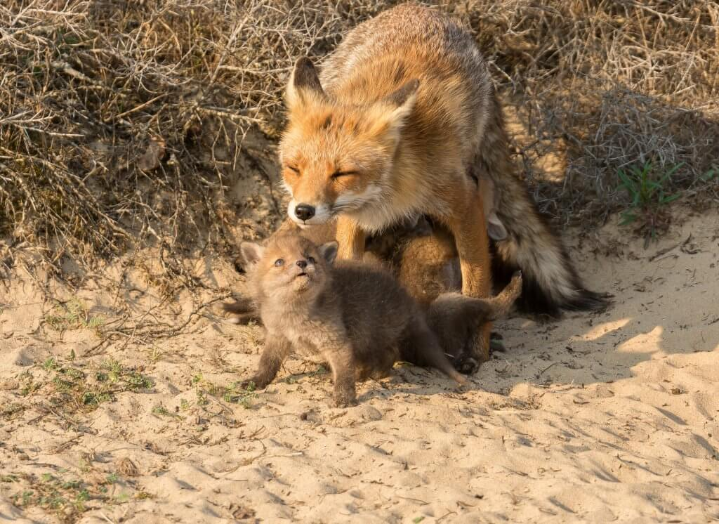 Moeder vos en welp bij de vossenburcht in de Amsterdamse Waterleidingduinen