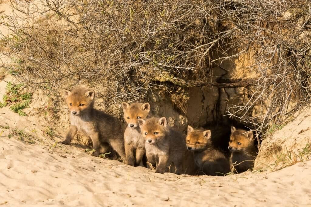 Welpen bij de vossenburcht in de Amsterdamse Waterleidingduinen